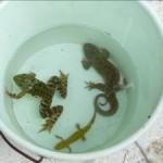 Anfibios adultos