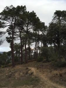 tala de pinos en el Cerro Robledillo (1)