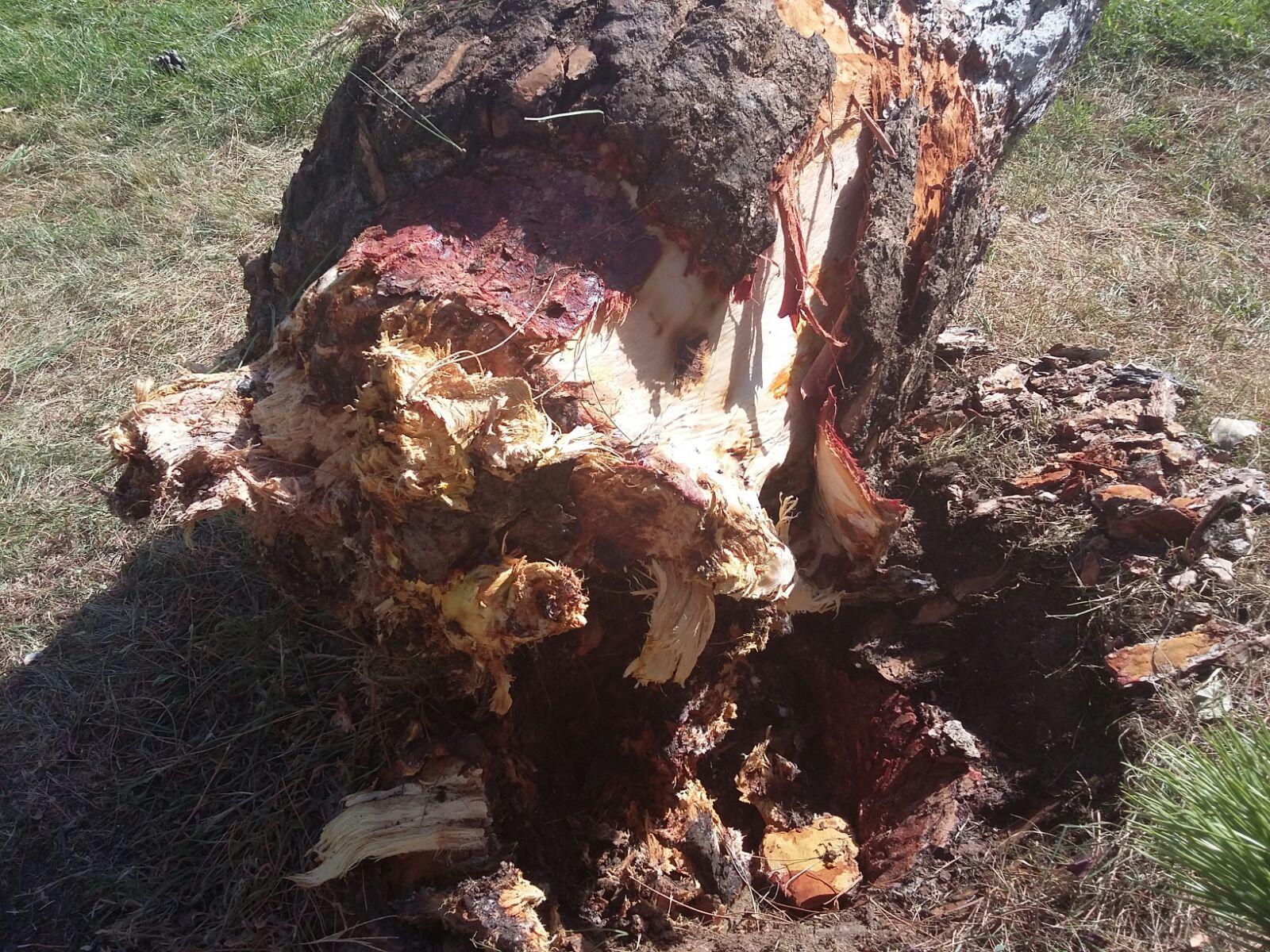 Detalle del tronco del pino caído.