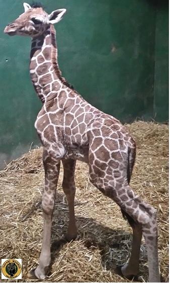 jirafa-recien-nacida